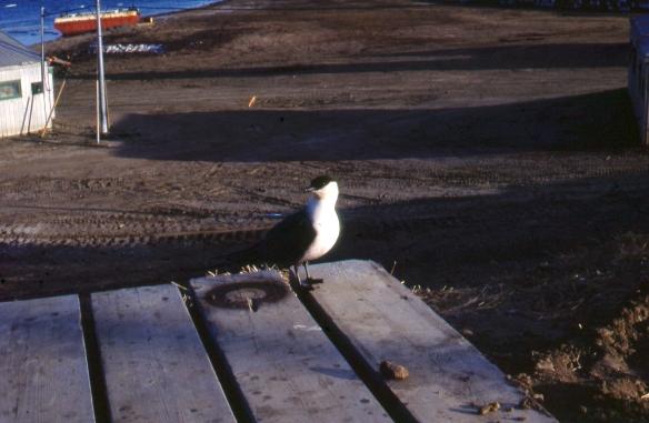 Eureka, Nunavut, Goéland/Seagull, 1983-07